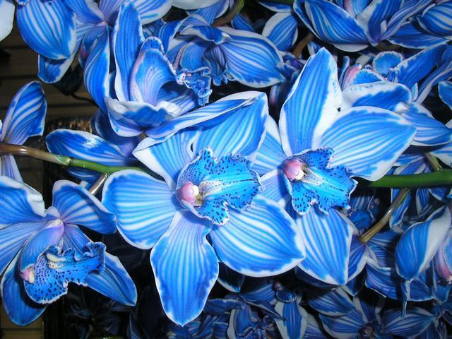 Cymbidium large flowered KLB H%