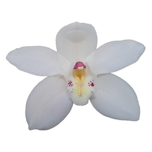 Cymbidium large flowered EARLY WHITE