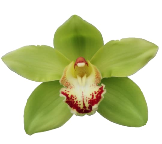 Cymbidium large flowered NOAH