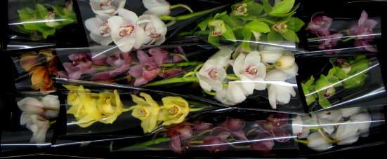 Cymbidium large flowered GEM