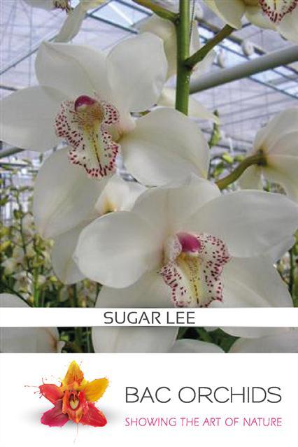 Cymbidium large flowered MRS SUGAR LEE